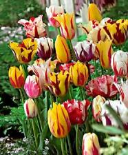 Value Pack 25 Tulip Bulbs Rembrant 'Carnaval Mixed' WPC Prins Quality Bulbs