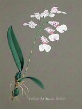 PAINTING BOOK PAGE ORCHID DECORA BURLINGTONIA LARGE ART PRINT POSTER LF1451