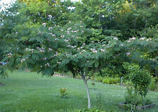 PRETTY WILD FLOWERED MIMOSA TREE  10 +  SEEDS 4 U 2 PLANT AT UR HOME