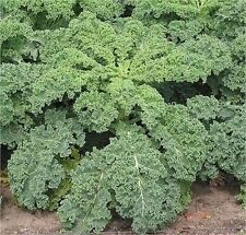 KALE VATES BLUE CURLED 50+ Seeds (Dwarf Blue Scotch) Healthy Greens Garden