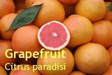***Grapefruit Öl, pink,  naturrein, USA, 50ml, Topp-Qualität!! frisch-fruchtig!!