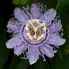 Passiflora incarnata-violet fleur de la passion - 5 fresh seeds