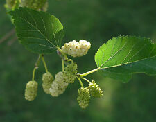 (100) Tatarian White Mulberry Seeds - Silkworm - Morus alba Tatarica - Comb S&H