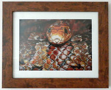 Limited Edition A4 Signed Print - Wildlife Art Painting of Corn Snake Reptiles