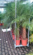 Zwergdattelpalme Phoenix Roebelenii 160 / 170 cm  Zimmerpflanze