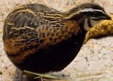 12 Harlequin Quail hatching Eggs(African Quail) believed fertile