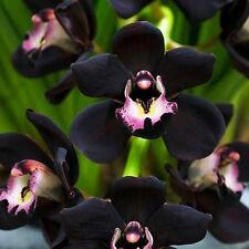 RARE!! 100 PCS Unique Black Cymbidium Orchid Flower Seeds