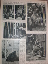 Photo article Giant Gorillas in American Zoos 1947