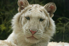 ADORABLE CLOSE-UP PHOTOGRAPH OF A WHITE TIGER CUB MATTED