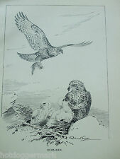ANTIQUE PRINT DATED 1923 BIRDS & THEIR YOUNG BUZZARDS BY ROLAND GREEN