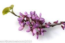 Chinesischer Judasbaum Tolle Blüten 5 Samen frosthart