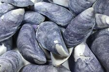 "25 Gorgeous Plus Sized Blue Mussel Sea Shells 2 ¼"" to 2 ¾"" Crafts Beach Nautical"