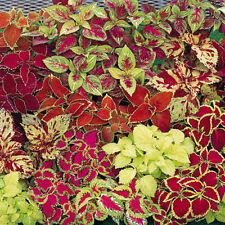Colorful Blumei Seeds Mix Colors 50Pcs Home Garden Flower Leaves Plant Decor