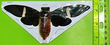 "Giant Banded Asian Cicada Tosena fasciata Spread 4-6"" Span FAST SHIP FROM USA"