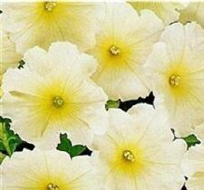 Petunia - Mirage Buttercream - 50 Seeds