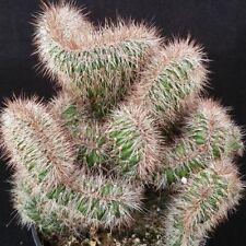 STENOCEREUS HOLLIANUS CRISTATA CACTUS CACTI SUCCULENT REAL LIVE PLANT