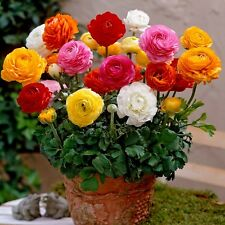 Winter Flower bulb - Ranunculus flower Bulb mix colour - 6 bulb
