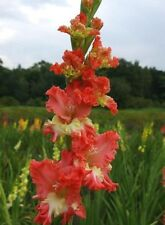 Gladiolus Bulbs Frizzled Coral Lace Sweet Sword lily Gladioli ! In Stock !