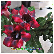 Adenium (Obesum)  5 Graines Mangosteen seeds News