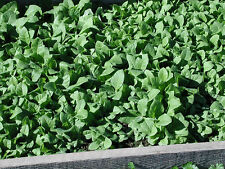 TURKISH SHIRAZI TOBACCO - 50 SEEDS