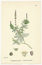 Sowerby. Spiked Water Milfoil. Hand Colored. Over 100 years old! #514