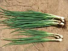 Thai Seeds Red Bunching Spring Onion Shallot Scallion Garden Plant