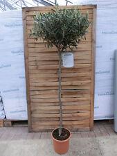 Olivenbaum - Olea europaea - Pflanze 170cm Frost - essbare Oliven Früchte