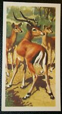 IMPALA    African Antelope         Vintage Illustrated Colour Card  VGC