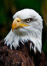 Bald Eagle Face - Bird - 3D Postcard Lenticular Greeting Card