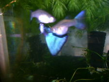 12+ BLUE GREEN DELTA LONG FINS GUPPY YOUNGSTERS BEST STRAIN VERY BEAUTIFUL!!!