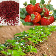 100pcs Red Strawberry Climbing Strawberry Fruit Plant Seeds Home Garden Sale