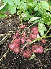 Potato Seed - Krasa-Beauty Organic Russian - Heirloom Vegetable- 6 potato tubers