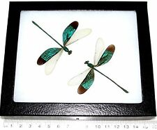 REAL ARRANGED GREEN INDONESIAN DAMSELFLIES DRAGONFLIES FRAMED INSECTS