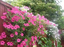 *NEW Petunia Tidal Wave Seeds STUNNING 6ft-7ft GROWTH - Same Day Post SEEDS UK !