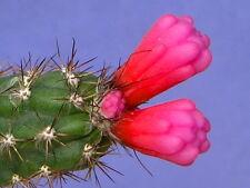 100 Arrojadoa reflexa AL43 SEEDS semi korn semillas NO stapelia aztekium orbea