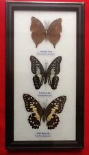 3 REAL BUTTERFLIES BUTTERFLY TAXIDERMY INSECT PICTURE FRAME LIME JAY LEAF