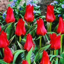 100 x Tulip 'Red Riding Hood' bulbs (plant at home)