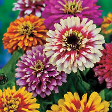 GIANT ZINNIA CANDY STRIPE MIX Butterflies Bees Annual Heirloom LITTLE SEED STORE