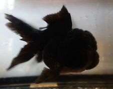 Live Fish 6 Inch Black Oranda Goldfish