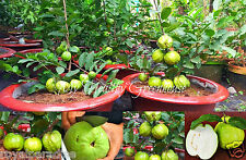 "10 Seeds Extremely Huge Giant Guava, Dwarf ""Kilo Guava"" Shrub, Tree Seeds"
