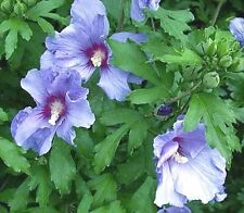 Hibiscus syriacus Sky Blue Rose of Sharon 10 seeds