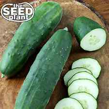 Straight Eight Cucumber Seeds - 25 SEEDS NON-GMO