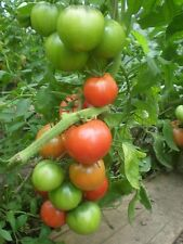 Tomato seeds heirloom Bonny Best Qty 25