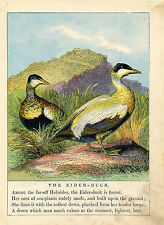 EIDER DUCK SEA DUCKS ANIMALS WILDLIFE ANTIQUE COLOR PRINT 1879