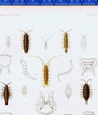 Crustaces, Crustaceans, ANNULOSA-Idotea, Wood Lice-1849 Zoology Lilitho