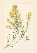 Färber-Ginster - Genista tinctoria Farbdruck von 1958 Gibkraut Farbkraut