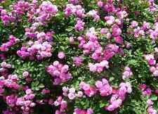 100 Colorful Climbing Roses Seeds Rosebush Rosa multiflora Garden Flowers