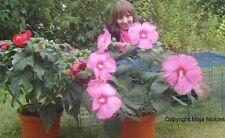 Hibiskus moscheutos semi ornamenti decorare per la primavera il giardino la
