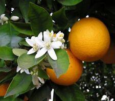 **Orangenblütenwasser, Orangenwasser,  250ml, Topp!!