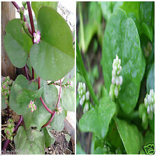Vegetable Seed MALABAR SPINACH Combo Pack - RED & GREEN - Pack of 50 Seeds Each